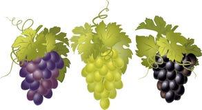 Sistema del vector de manojos de uvas Foto de archivo libre de regalías