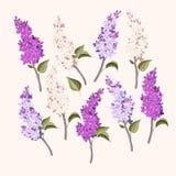 Sistema del vector de ramas de la lila púrpura y blanca libre illustration