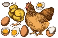 Sistema del vector del pollo coloreado exhausto de la mano, huevos ilustración del vector