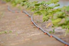 Sistema dell'irrigazione a goccia Fotografia Stock Libera da Diritti