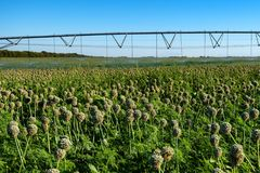 Sistema dell'irrigazione a goccia nel campo Fotografia Stock Libera da Diritti