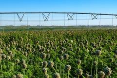 Sistema dell'irrigazione a goccia nel campo Immagine Stock Libera da Diritti