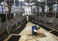 Sistema di mungitura automatico del latte di agricoltura dell'azienda agricola della mucca Fotografia Stock