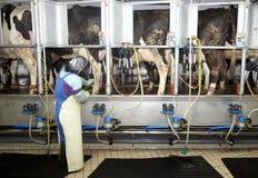 Sistema di mungitura automatico del latte di agricoltura dell'azienda agricola della mucca Immagine Stock Libera da Diritti