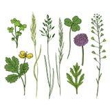 Sistema dibujado mano de las flores salvajes Hierbas de la tinta en color Ejemplo del vector de la medicina herbaria Fotografía de archivo libre de regalías