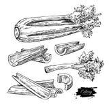 Sistema dibujado mano del ejemplo del vector del apio Objeto grabado verdura aislado del estilo Comida vegetariana detallada Fotografía de archivo libre de regalías
