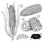 Sistema dibujado mano del ejemplo del vector del maíz Objeto grabado verdura aislado del estilo Comida vegetariana detallada Imagenes de archivo