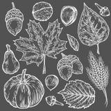 Sistema dibujado mano del otoño del vector de la hoja, nuez, calabaza, trigo, clavos, avellana, nuez, bellota Objetos grabados ve Imagen de archivo