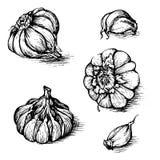 Sistema dibujado mano del vector de ajo con los clavos Ejemplo del bosquejo de las especias aislado en el fondo blanco Fotografía de archivo