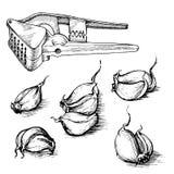 Sistema dibujado mano del vector de clavos de ajo con la prensa Ejemplo del bosquejo de las especias en el fondo blanco Fotos de archivo