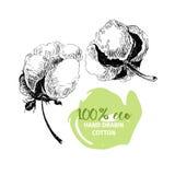 Sistema dibujado mano del vector de ramas del algodón eco 100 Brotes de flor del algodón en estilo grabado vintage Fotos de archivo libres de regalías
