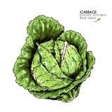 Sistema dibujado mano del vector de verduras de la granja Col aislada Arte coloreado grabado Objetos vegetarianos bosquejados org libre illustration
