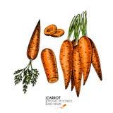 Sistema dibujado mano del vector de verduras de la granja Zanahorias aisladas Arte coloreado grabado Objetos vegetarianos bosquej Fotografía de archivo