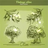 Sistema dibujado mano del vintage del árbol y de la botella de la rama de olivo Estilo del bosquejo Imagen de archivo libre de regalías