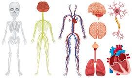 Sistema differente nel corpo umano royalty illustrazione gratis