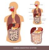 Sistema digestivo Fotografia de Stock Royalty Free