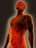 Sistema digestivo Fotografie Stock Libere da Diritti