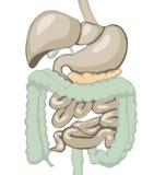 Sistema digestivo Fotografía de archivo