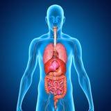 Sistema digestivo Foto de archivo libre de regalías