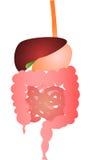 Sistema digestivo Imagen de archivo libre de regalías