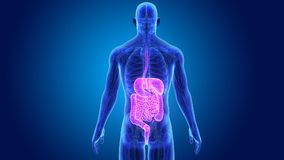 Sistema digestivo con anatomía stock de ilustración