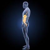 Sistema digestivo con la opinión del lateral de la anatomía Fotografía de archivo