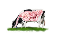 Sistema digestivo da vaca ilustração royalty free