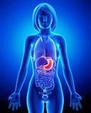 Sistema digestivo de hembra Imágenes de archivo libres de regalías