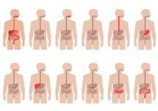 Sistema digestivo de la anatomía Fotos de archivo