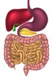 Sistema digestivo del canal alimenticio Imagen de archivo libre de regalías