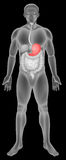 Sistema digestivo del estómago Imagenes de archivo