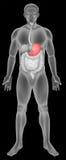 Sistema digestivo do estômago Imagens de Stock