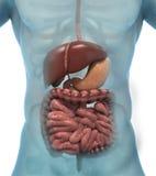 Sistema digestivo humano Foto de archivo libre de regalías