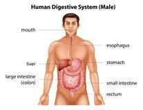 Sistema digestivo humano Imagenes de archivo