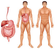 Sistema digestivo humano Foto de archivo