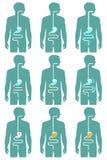 Sistema digestivo humano, Fotografía de archivo