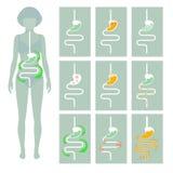 Sistema digestivo humano, Imagen de archivo libre de regalías