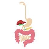 Sistema digestivo humano imagen de archivo libre de regalías