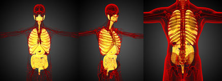 Sistema digestivo humano Fotos de Stock