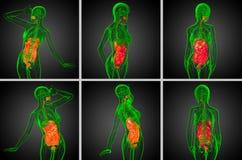 Sistema digestivo humano Fotografia de Stock Royalty Free