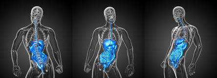 Sistema digestivo humano Fotos de Stock Royalty Free