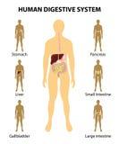 Sistema digestivo los órganos destacaron en la silueta de un huma Imagen de archivo libre de regalías