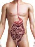 Sistema digestivo sano Fotografia Stock