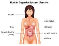 Sistema digestivo umano royalty illustrazione gratis