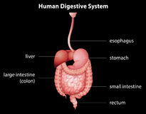 Sistema digestivo umano Immagini Stock