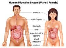 Sistema digestivo umano Immagini Stock Libere da Diritti