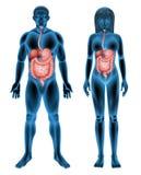 Sistema digestivo umano Fotografia Stock Libera da Diritti