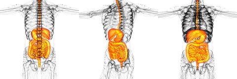 Sistema digestivo umano Fotografia Stock