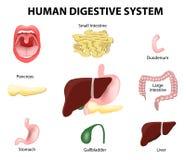 Sistema digestivo umano insieme Fotografie Stock Libere da Diritti