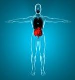 Sistema digestivo y respiratorio masculino Fotos de archivo